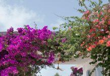 Planta trepadora Buganvilla