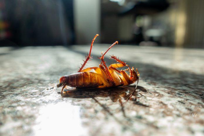 Matar cucarachas con remedios caseros
