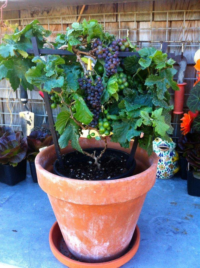 Cultivar uvas en maceta
